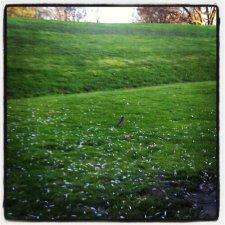 Robin pondering the blossom-confetti