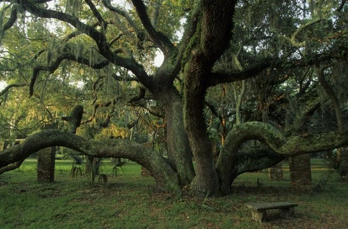 oak tree2