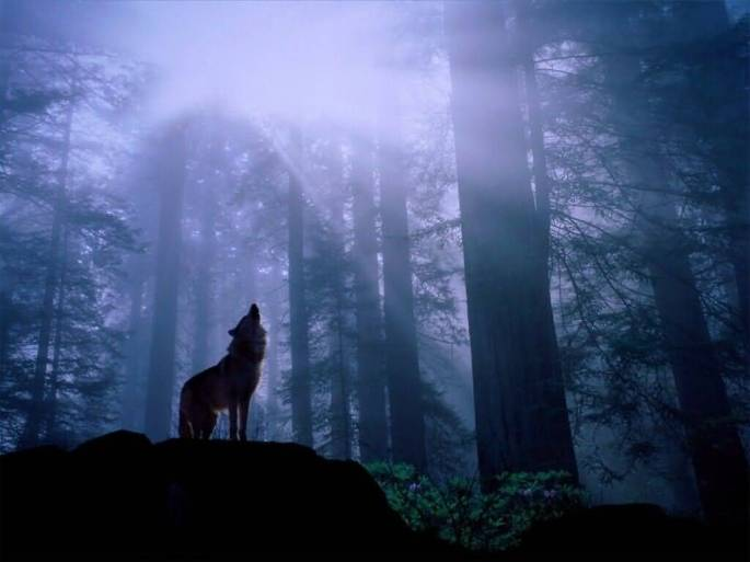 Warming_Up_for_the_Nights_Howl_Gray_Wolf-(1024x768)
